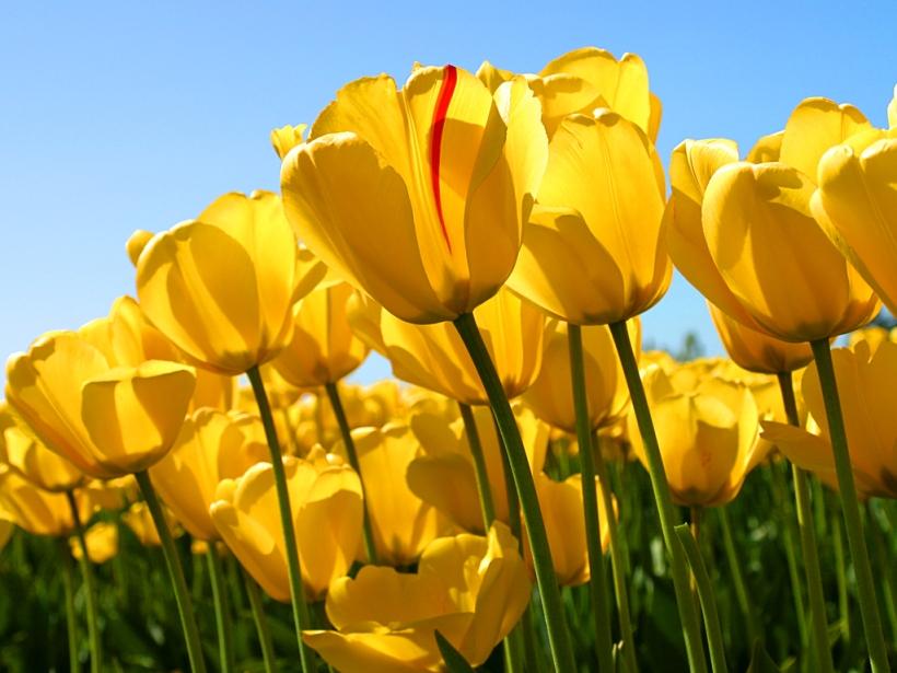 tulipas